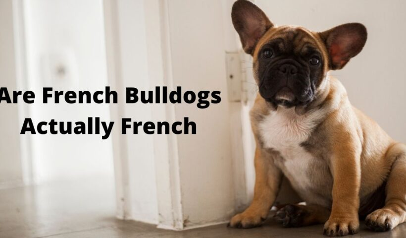 Are French Bulldogs Actually French?