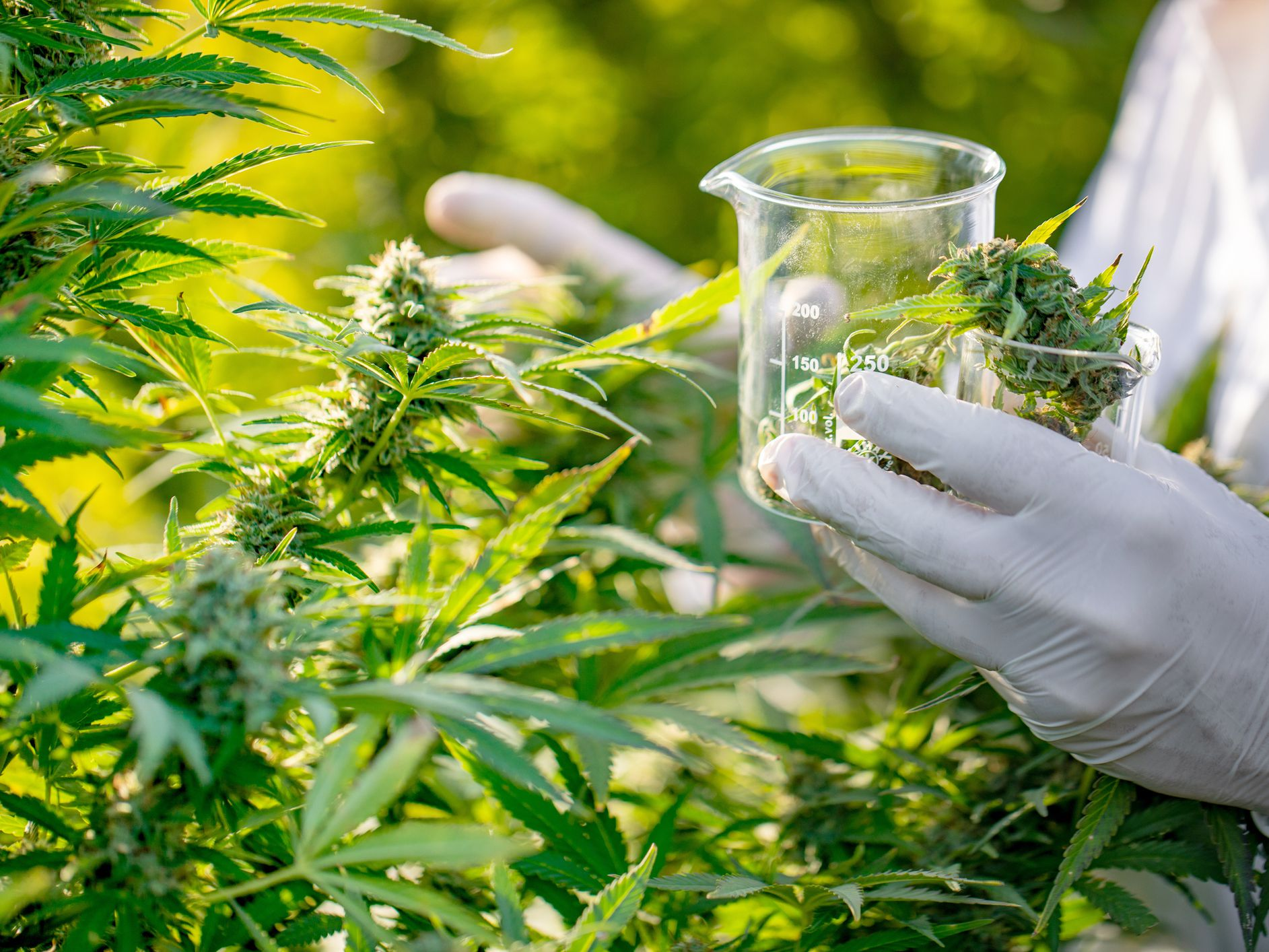 Tips That You Should Consider Before Buying Weed Through Online Ways!